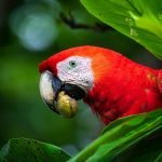 osa peninsula, costa rica, scarlett macaw