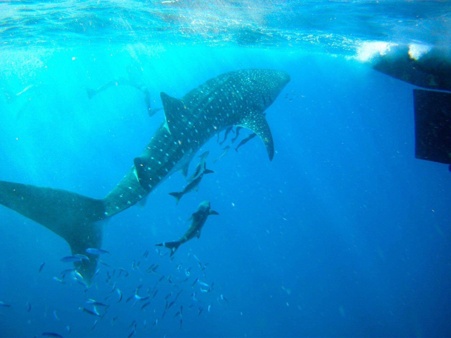 swim with whale sharks, adventure tourism, vacation, scuba, snorkel