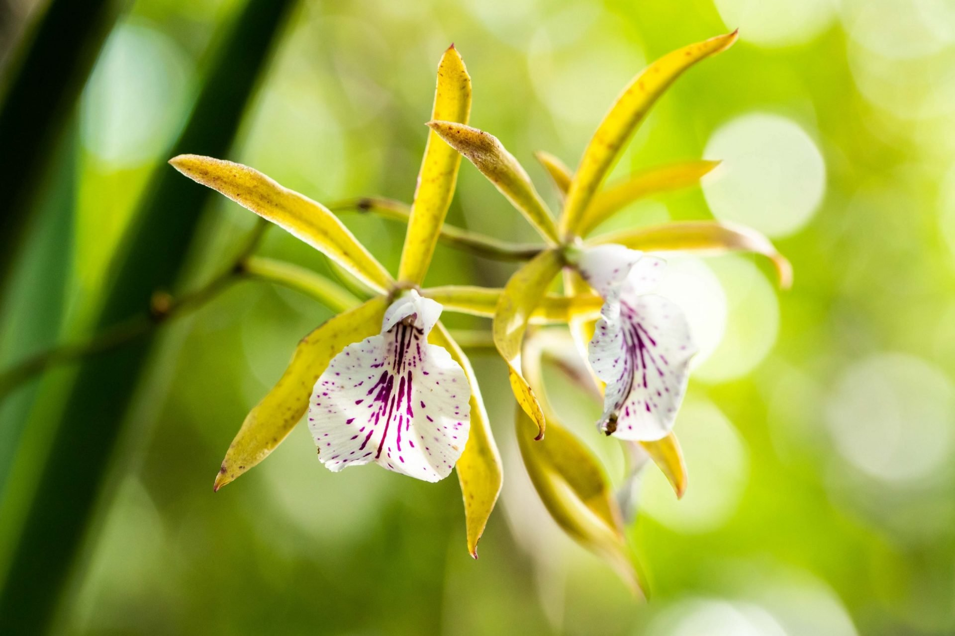 Orchids Of The Cayman Islands